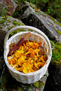 Chanterelles in a basket Royalty Free Stock Photo