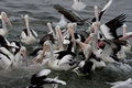 Chaos with pelicans feeding a big group of than is only Stock Image