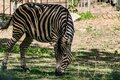 Chapman`s Zebra, a large ungulate animal from the horse family. Striped black and white color close-up Royalty Free Stock Photo