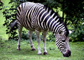 Chapmans Zebra Royalty Free Stock Images