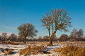 Characteristic trees in a Dutch winter landscape Stock Images