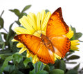 Charaxes distanti Butterfly