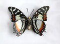 Charaxes superbus a beautiful giant butterfly stuffed Royalty Free Stock Photos