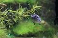 Charco Palma Pupfish Royalty Free Stock Photo