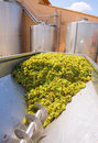 Chardonnay corkscrew crusher destemmer in winemaking with grapes Stock Photo