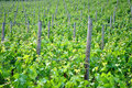 Chardonnay grape vines Stock Image