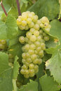 Chardonnay grapes Royalty Free Stock Photo