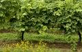 Hrozno rastúce na vinice v vinice vlčie maky v popredia
