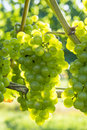 Chardonnay Grapes in a Vineyard #2 Royalty Free Stock Photo