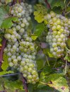 Chardonnay Grapes in Autumn Champagne Region Royalty Free Stock Photo