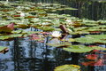 Charleston sc cypress gardens water lilies view of Stock Images
