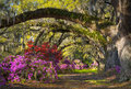 Charleston sc spring bloom azalea flowers south carolina plantation garden under live oaks and spanish moss Stock Photo