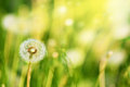 Charm of summer dandelions on a solar meadow Royalty Free Stock Photos