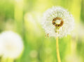 Charm of summer dandelions on a solar meadow Stock Photos