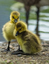 Charmin baby ducks picture taken by the pond close to the lincoln park zoo chicago Stock Photos