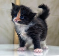 Charming  blue-eyed kitten Royalty Free Stock Photo