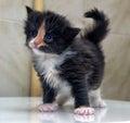 Charming  blue-eyed kitten Royalty Free Stock Photo