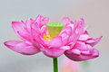 Charming pink lotus charm pure white flower and green leaf Stock Photos