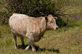 Charolais Royalty Free Stock Photo