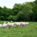Charolais Cattle Stock Image