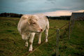 Charolais Cattle in Normandy Royalty Free Stock Image