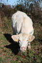 Charolais cow facing camera Stock Photo
