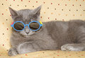 Chartreux cat with shades Royalty Free Stock Photo
