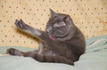 Chartreux cat washing itself with toungue Royalty Free Stock Photography
