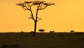 The chase cheetahs chasing a wildebeest at sunset Royalty Free Stock Photo