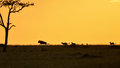 The chase cheetahs chasing a wildebeest at sunset in kenya Stock Photo