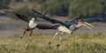 Chasing african fish eagle marabou stork from its prey Royalty Free Stock Image