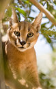 Chat de Caracal Image stock