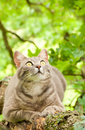 Chat de tabby bleu regardant attentivement la proie Photos stock