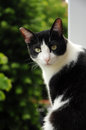 Chat noir et blanc Photo stock