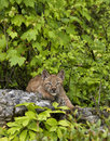 Chaton de lynx Photo stock