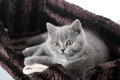 Chaton des Anglais Shorthair Photos libres de droits