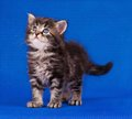 Chaton prudent Photographie stock libre de droits
