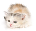 Chaton sur un fond blanc Photo libre de droits