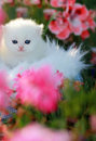 Chatons persans blancs Images libres de droits