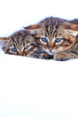Chatons sauvages Photo stock