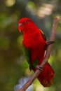 Chattering lory bird perched on branch Stock Images