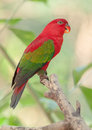 Chattering lory on a bough resting Stock Photography