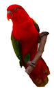 Chattering lory isolated on white background Royalty Free Stock Photography