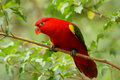 Chattering lory lorius garrulus beautiful at tree top Royalty Free Stock Image