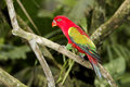 Chattering lory lorius garrulus single captive bird on branch indonesia march Stock Image
