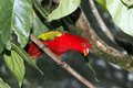 Chattering lory lorius garrulus single captive bird on branch indonesia march Royalty Free Stock Photography