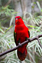 Chattering lory lorius garrulus standing on a branch breast profile Royalty Free Stock Images