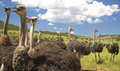 Chattering Ostriches Royalty Free Stock Photo