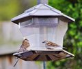 Chatting sparrows two seem to be about the lack of food in the feeder Royalty Free Stock Image
