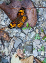 Checkerspot butterfly silvery chlosyne nycteis with open wings Stock Image